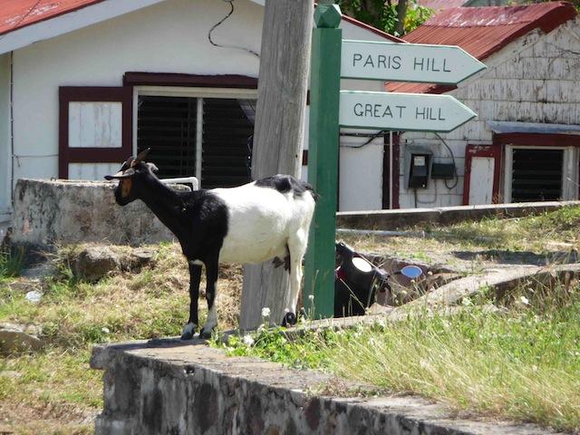 Goats on Saba