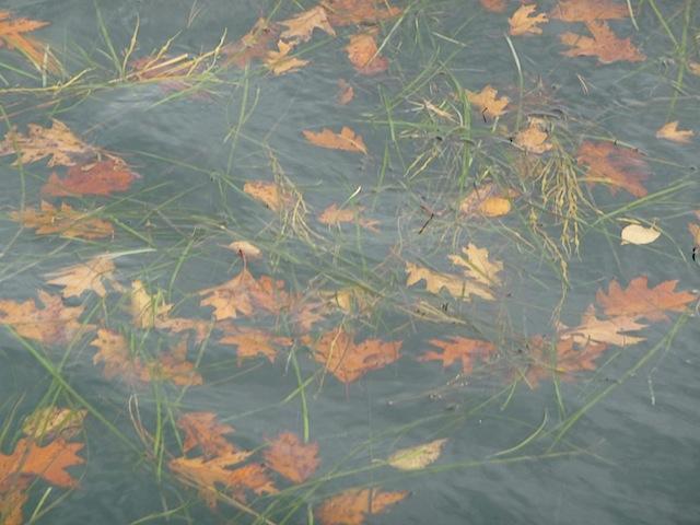Leaves afloat in Casco Bay