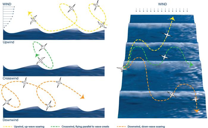 Albatross flight pattern
