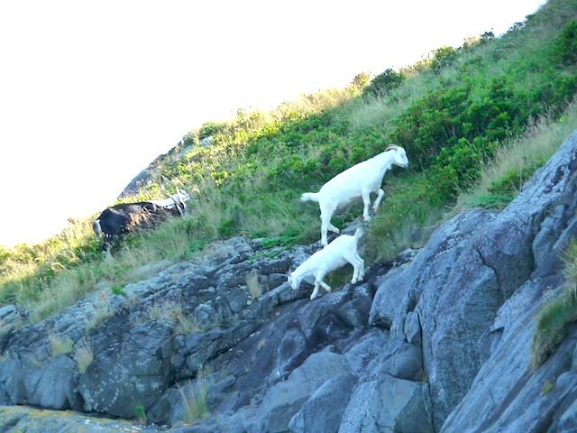 Goats on Manana Is.