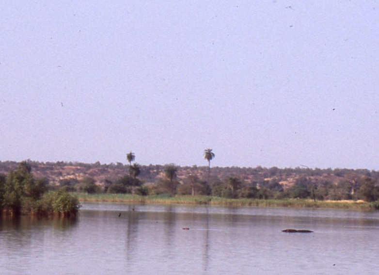 Hippos on the Gambia