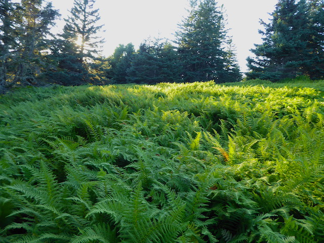 Babson ferns